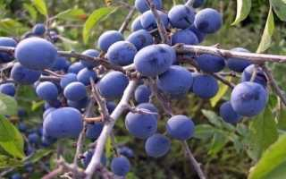 Выращивание и использование колючей сливы терновки