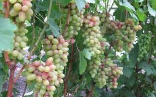 Удачная селекция сортов винограда магнат