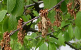 Какие сорта вишни устойчивы к мониальному ожогу и коккомикозу