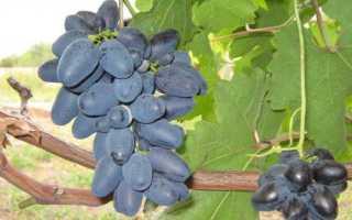 Сорт винограда атос фото и описание отзывы уход