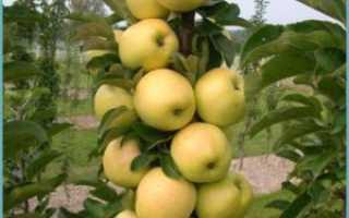 Как формировать колоновидную яблоню