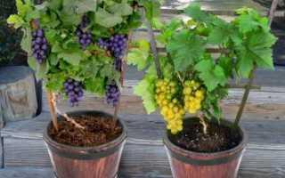 Что важно для выращивания винограда в открытом грунте