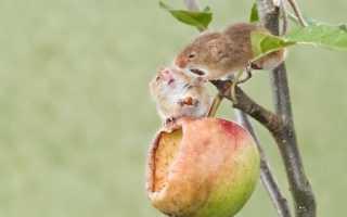 Как защитить яблони от зайцев зимой