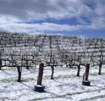 Виды винограда которые не нужно укрывать на зиму