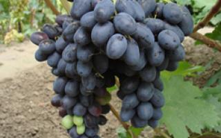 Описание и правила выращивания сортов винограда а в бурдака