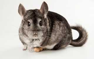 Шиншилла это кролик или крыса