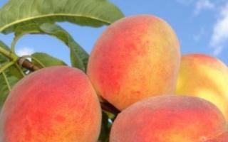 Описание сорта персика коллинз