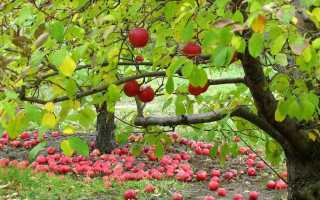 Чем удобрять фруктовые деревья осенью
