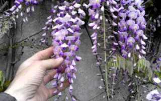 Глициния из семян