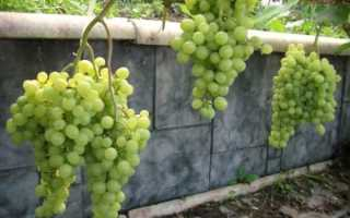 Характеристика сортов винограда для сибири