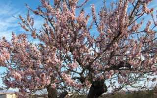 Как ухаживать за миндальными деревьями