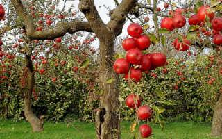 Как опилить старую яблоню