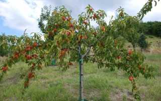 Правила обрезки персика летом