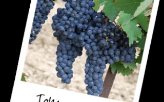 Сорт винограда темпранильо испания