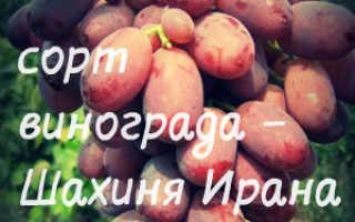 Описание винограда шахиня ирана