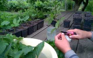Размножение ежевики зелеными черенками