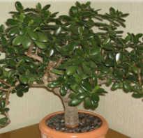 Денежное дерево размножение черенками
