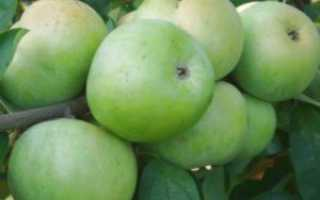 Размножение яблони сломанной веткой