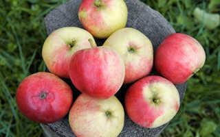 Яблоки сорта афродита