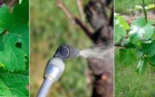 Обработка винограда осенью мочевиной