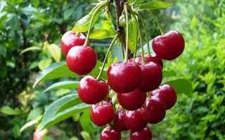 Выращивание вишни молодежная