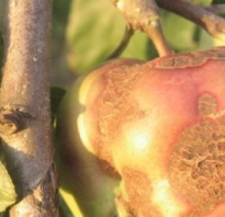 Борьба с паршой яблонь осенью