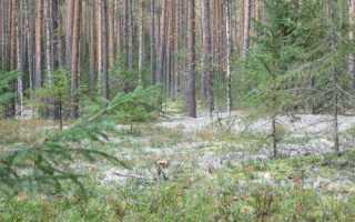 Какие мхи и лишайники растут в лесу