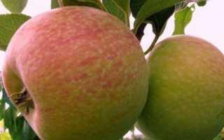 Какие у яблони конфетное достоинства