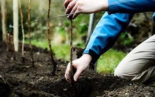 Когда лучше пересаживать малину весной или осенью