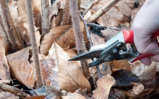 Сроки обрезки малины осенью