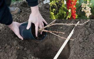 Как сажать смородину в отрытый грунт