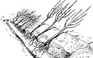 Как прикопать смородину осенью
