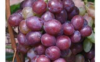 Сенатор описание и особенности выращивания винограда