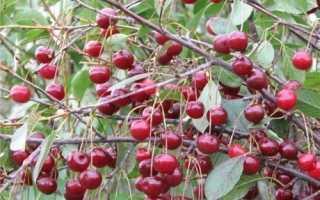Особенности вишни шубинка