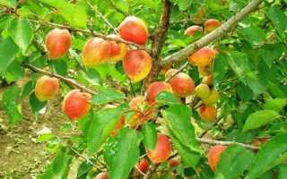 Описание сорта абрикоса академик