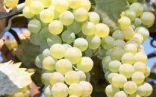 Сорт винограда ркацители магарача описание фото