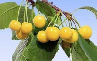 Выращивание черешни рондо