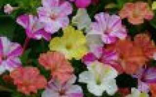 Ночная красавица цветок