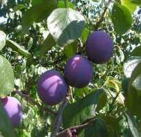 Выращивание сливы малаховская