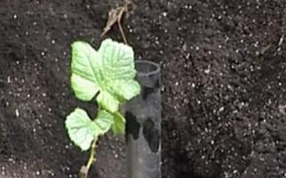 Как рассадить виноград осенью