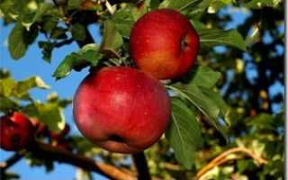 Выращивание яблони апорт