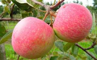 Яблоня сорта грушовка давняя любимица дачников