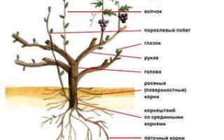 Особенности обрезки виноградной лозы в летний период