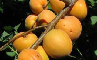Описание сорта абрикос манитоба
