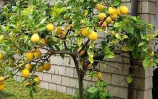 Описание лимона эврика