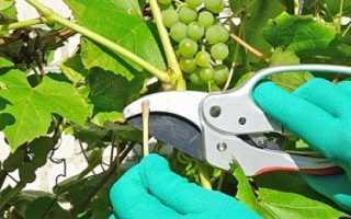 Особенности летней обрезки винограда