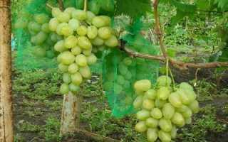 Виноград черный монарх