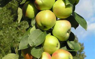 Сорт яблок президент описание