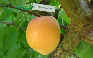 Монастырский абрикос характеристика особенности посадки и ухода