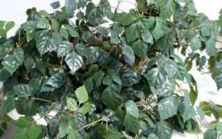Домашняя березка опадают листья что делать